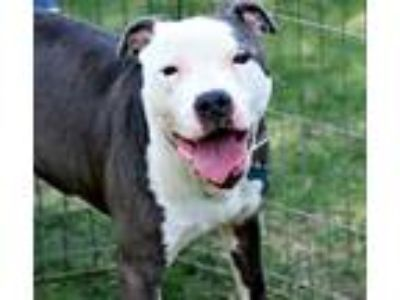 Adopt Koby a Pit Bull Terrier