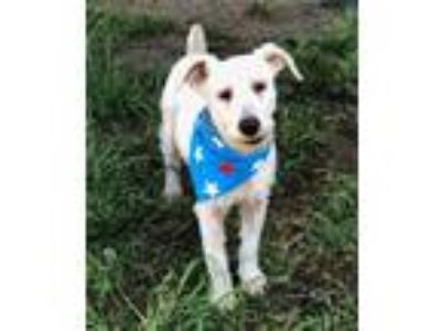 Adopt ALFIE a White Schnauzer (Miniature) / Mixed dog in Pilot Point