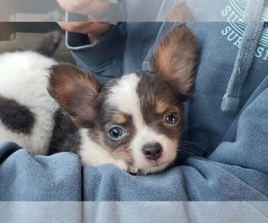Chihuahua PUPPY FOR SALE ADN-130200 - Male Long Haired Blue Chihuahua Puppy