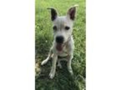 Adopt Athens a White - with Black American Pit Bull Terrier / Mixed dog in