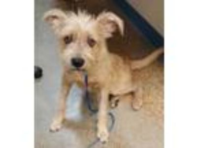 Adopt Blondie a Tan/Yellow/Fawn Terrier (Unknown Type, Small) / Mixed dog in