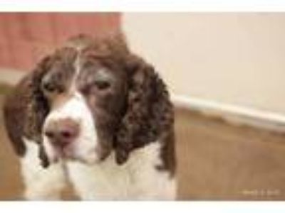 Adopt Max a Brown/Chocolate Welsh Springer Spaniel / Mixed dog in Caldwell