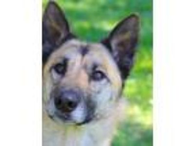 Adopt Jasmine a Belgian Malinois / Mixed dog in Oakland, CA (25120986)