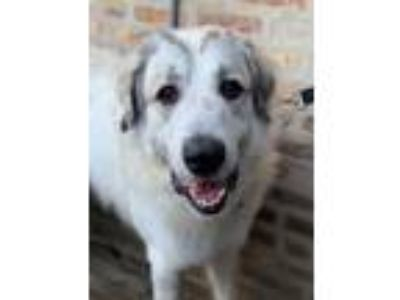 Adopt Clarke a White Great Pyrenees / Mixed dog in Roselle, IL (25529002)