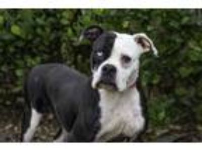Adopt RIGLIE a Boxer, Mixed Breed