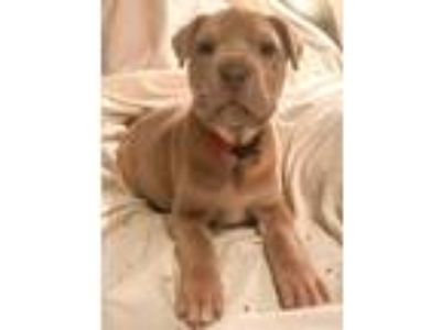 Adopt Arlo LJ a Tan/Yellow/Fawn Shar Pei / Pit Bull Terrier / Mixed dog in