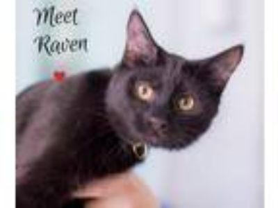 Adopt Raven a Domestic Shorthair / Mixed (short coat) cat in Hampton