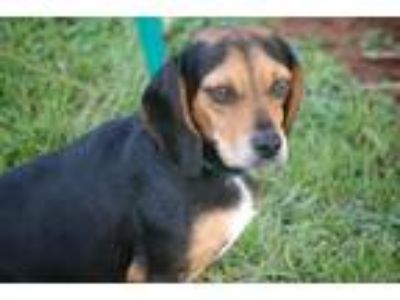 Adopt Anna a Black - with Tan, Yellow or Fawn Beagle / Mixed dog in Winder