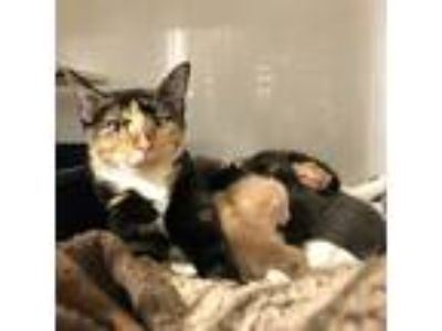 Adopt Bobbie a Brown Tabby Domestic Shorthair (short coat) cat in Dallas
