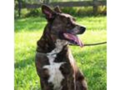 Adopt ROMEO a Pit Bull Terrier, Hound