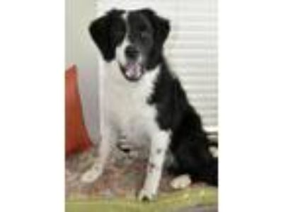 Adopt Buddy Cave a Border Collie, Mixed Breed
