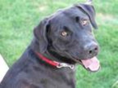 Adopt Oliver a Black Mixed Breed (Large) / Mixed dog in Georgetown