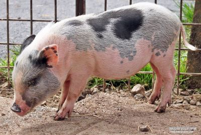 Male Mini Pig- Reduced Price!