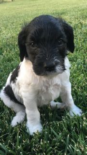 Puppy - Canyon Classified Ads - Claz org