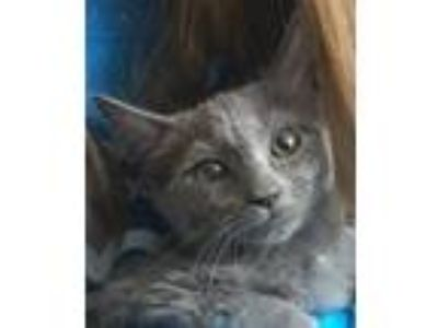 Adopt Sneezy a Gray or Blue Domestic Shorthair / Mixed cat in Palatine