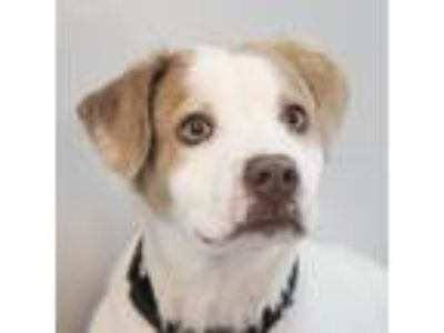 Adopt Ducky a White - with Tan, Yellow or Fawn Hound (Unknown Type) dog in
