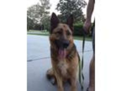 Adopt Demo a German Shepherd Dog