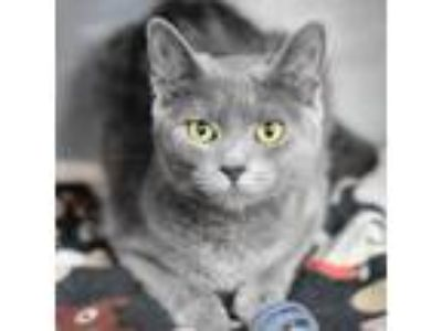 Adopt Kim a Gray or Blue Domestic Shorthair / Domestic Shorthair / Mixed cat in