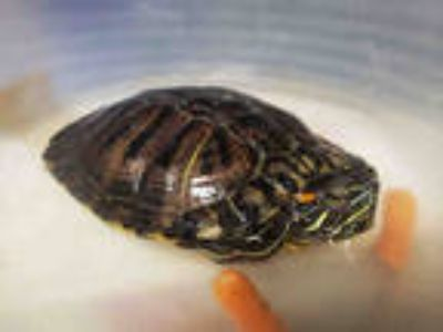 Adopt TOASTY a Turtle - Other / Mixed reptile, amphibian
