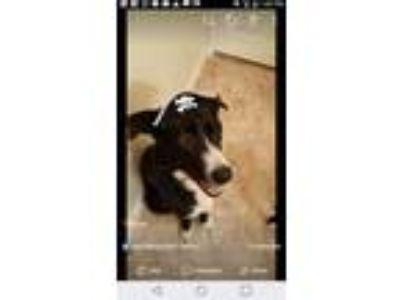 Adopt Batman a Black - with White Border Collie / Mixed dog in Houston
