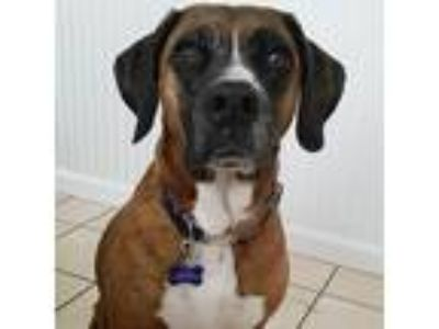 Adopt Sasha a Brindle - with White Plott Hound / Boxer / Mixed dog in Garden