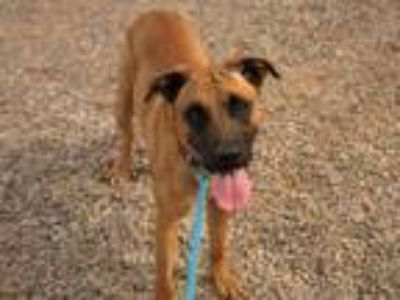 Adopt SIMON a Belgian Shepherd / Malinois, Mixed Breed