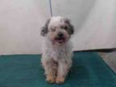 Adopt A709055 a Poodle