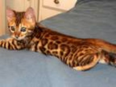 Two Bengal Kitten Brothers Available
