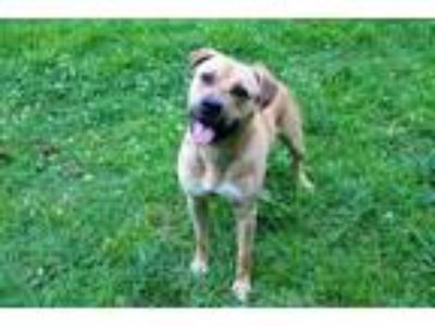 Adopt CAPONE a Tan/Yellow/Fawn - with White Cane Corso / Mixed dog in