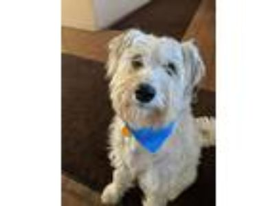 Adopt Winston a White - with Gray or Silver Wheaten Terrier / Mixed dog in