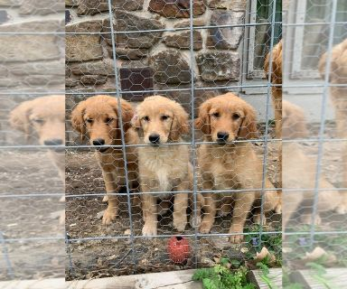 English Cream Golden Retriever PUPPY FOR SALE ADN-128858 - Golden Retriever