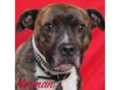 Adopt Norman a American Staffordshire Terrier
