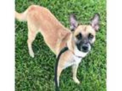 Adopt RILEY a Rat Terrier, Mixed Breed