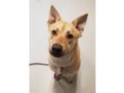 Adopt Nova a White - with Tan, Yellow or Fawn Cattle Dog / Basenji / Mixed dog
