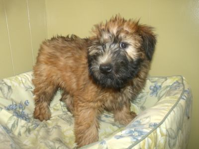 Soft Coated Wheaten Terrier PUPPY FOR SALE ADN-70247 - oscar