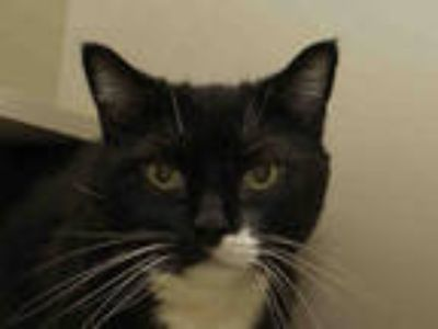 Adopt CABO a Black & White or Tuxedo Domestic Shorthair / Mixed (short coat) cat
