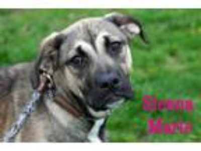 Adopt Sienna Marie a German Shepherd Dog