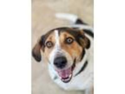 Adopt Winston 5 a Black Treeing Walker Coonhound / Mixed dog in Chicago