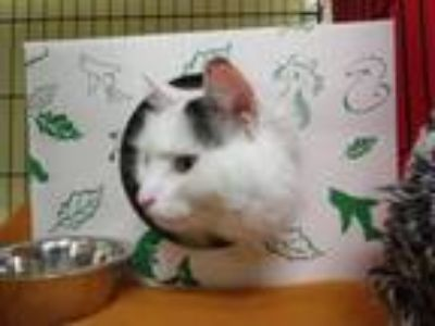Adopt Blueberry a Domestic Long Hair