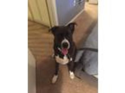 Adopt Dio a Black - with White Husky / Labrador Retriever / Mixed dog in Palm