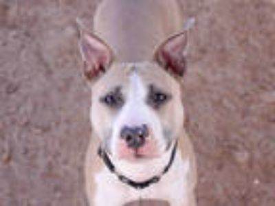 Adopt PINKIE a Tan/Yellow/Fawn - with White Bull Terrier / Mixed dog in Austin
