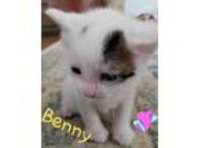 Adopt Benny a White Domestic Shorthair / Domestic Shorthair / Mixed cat in