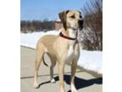 Adopt EDEN a Tan/Yellow/Fawn Catahoula Leopard Dog / Mixed dog in Spring Valley