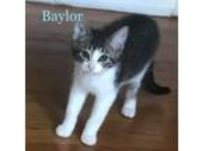 Adopt Baylor a Brown Tabby Domestic Shorthair (short coat) cat in South Bend