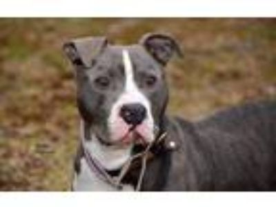 Adopt Captain Von Trapp a Pit Bull Terrier / Mixed Breed (Medium) / Mixed dog in