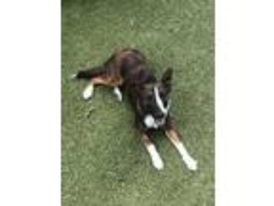 Adopt Tiger Lily a Tricolor (Tan/Brown & Black & White) Collie / Sheltie
