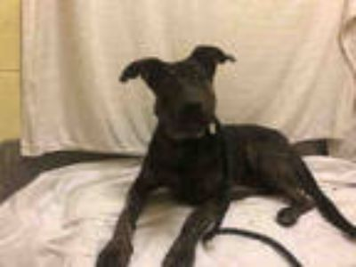 Adopt *PALAY a Black German Shepherd Dog / Mixed dog in Upper Marlboro