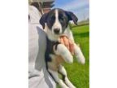 Adopt Archie and his siblings a Black - with Tan, Yellow or Fawn Border Collie /
