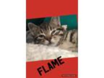 Adopt Flame a Brown Tabby Domestic Shorthair (short coat) cat in Toms River