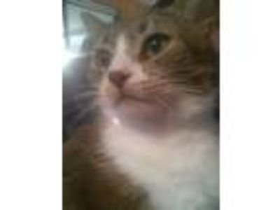 Adopt Puffin a Domestic Shorthair / Mixed cat in Ferndale, MI (25651439)